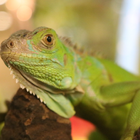 I see u by Timmothy Tjandra - Animals Reptiles ( reptiles, green, iguana, reptile, animal,  )