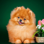Pomeranian Spitz Dogs New Wallpapers