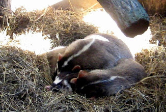 Photo: You always let sleeping badgers lie - maybe a better/new English language idiom...?