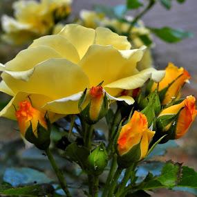 Růže by Věra Tudy - Flowers Flower Gardens