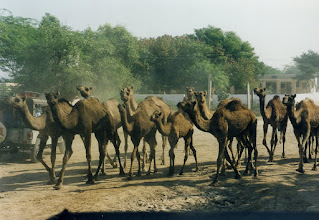 Photo: Camels in Rajasthan