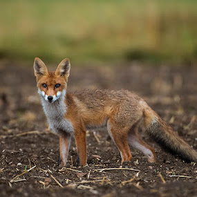 On the field for a dinner by Blaž Ocvirk - Animals Other Mammals ( field, fox, red, vulpesvulpes, slovenia, evening )
