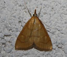 Photo: Anania (Ebulea) crocealis  Lepidoptera > Crambidae