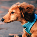 dachshund wallpapers icon