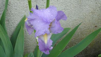Photo: Quelques gouttes de la pluie de cette nuit sur cette fleur d'iris
