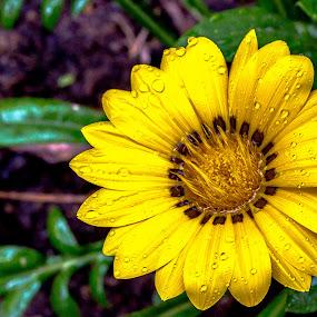 Sunflower Gold!!! by Eliseu Paes - Nature Up Close Flowers - 2011-2013 ( sun flower gold flor sol dourada )