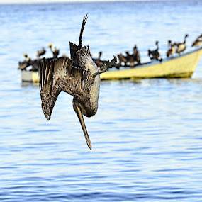 The Plunge by Edison Pargass - Animals Birds ( tobago, feeding, dive, sea, pelican,  )