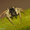 Dimorphic jumping spider - male