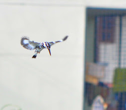 Photo: Pied kingfisher