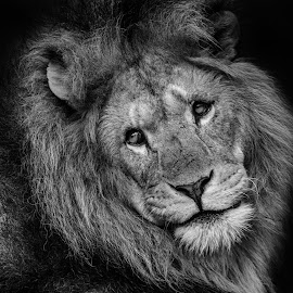 Eye's say it all by Peter Rollings - Animals Lions, Tigers & Big Cats ( big, colchester, cat, zoo, lion, male,  )