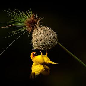 weaver bird displaying by Ken Dyball - Animals Other ( kenya bird weaver yellow nest )