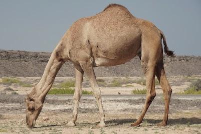 Kamel nahe Ras al-Jins