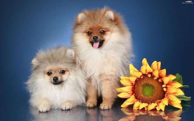 Chihuahua Dogs Tab