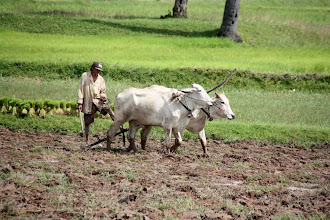 Photo: Year 2 Day 37 -  Traditional Ploughing