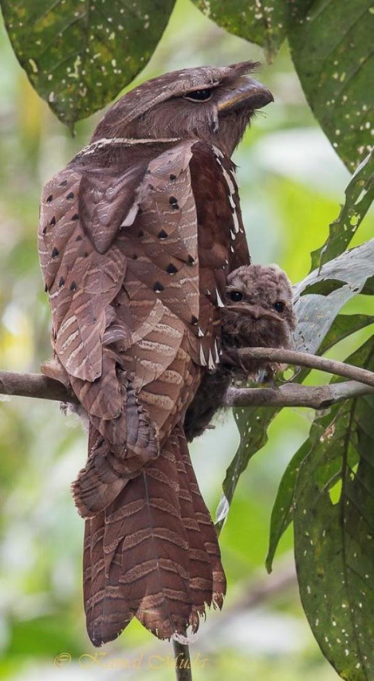 15. Malaysian Large Frogmouth And Her Baby