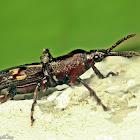 Straight-snouted Weevil