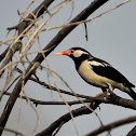 Starling  -  Asian Pied Starling