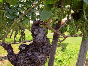 Photo: Aus dem alten Stock kommt junger Wein (Felix)