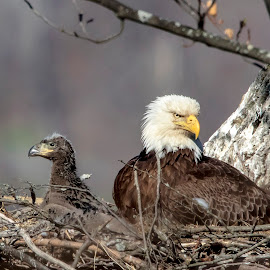 Bald Eagle and Eaglet by Debbie Quick - Animals Birds ( raptor, debbie quick, nature, bald eagle, debs creative images, birds of prey, outdoors, bird, eagle, animal, wild, hudson valley, wildlife )