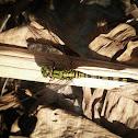 Slender skimmer/Green marsh hawk