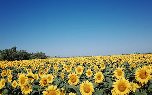 Sunflower - New Tab in HD
