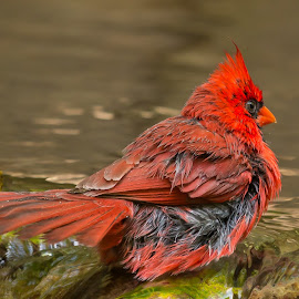 Tails by Rananjay Kumar - Animals Birds ( red, bird, canon70d, backyard, birds, wild, canon )