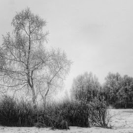Winter Trees by Patricia Phillips - Black & White Landscapes ( anchorage alaska winter trees )