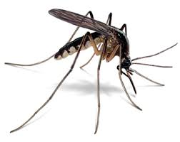 Image result for mosquitoes