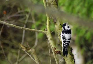 Photo: самка малого пестрого дятла