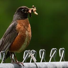Lunch by Stephen Beatty - Animals Birds (  )