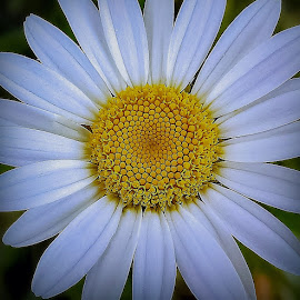 Daisy center by Sue Delia - Flowers Single Flower ( white, center, yellow, daisy, flower,  )
