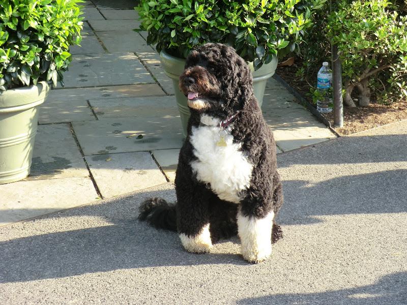 Photo: Close-up of Bo  #bothefirstdog