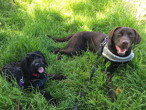 Photo: Monty Cockerpoo and Rupert Lab