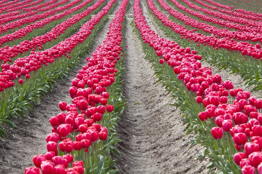 Pink Tulips all in a Row by Dana Styber - Nature Up Close Gardens & Produce ( pwcflowergarden, blooms, pink, tulips, fields, rows )