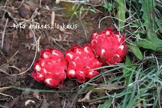 Photo: Cytinus hypocistis  Κύτινος ο υπόκιστος (λύκος της λαδανιάς) ΑΝΑΥΛΟΧΟΣ ΒΡΑΧΑΣΙ Αυτό το χωρίς χλωροφύλλη περίεργο φυτό με το εκτυφλωτικό  κόκκινο χρώμα παρασιτεί στις ρίζες της λαδανιάς. Έχει φύλλα  κόκκινα, σαρκώδη σε επάλληλη επικάλυψη. Άνθη με 4 τέπαλα,  λευκά ή κίτρινα, καλυμμένα από τα φύλλα, σε πυκνά κεφάλια,  τα έξω αρσενικά τα εσωτερικά θηλυκά. Το όνομα υπόκιστος  (υποκιστίς) είναι από τον Διοσκουρίδη.Ο κύτινος ανήκει στην  ίδια οικογένεια με την Raflesia, ένα τροπικό φυτό που το  άνθος του είναι το μεγαλύτερο του κόσμου και έχει διάμετρο 1μ.