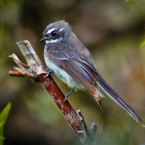 Grey Fantail 2 by Graham MacDougall - Animals Birds ( bird, macdougall, australia, grey fantail, garden, wagtail )