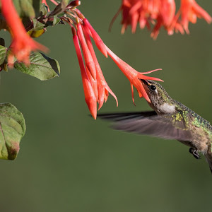 hummer at honeysuckly fuschia 1.jpg