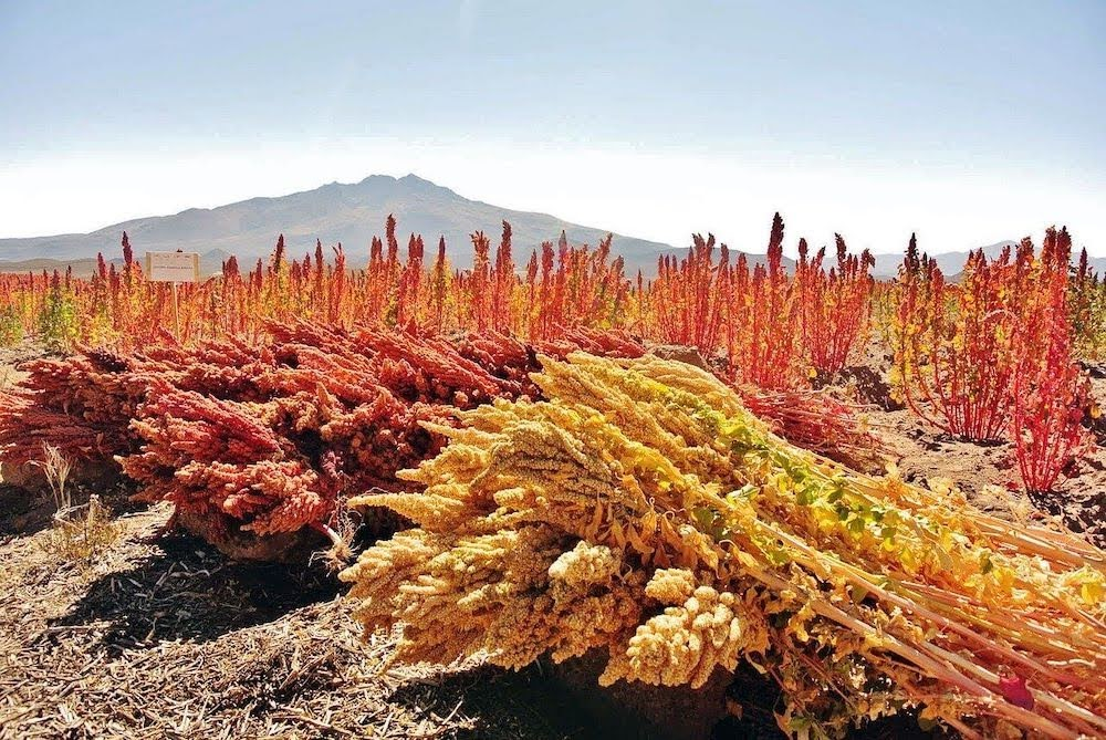 quinoa fields in bolivia.jpg
