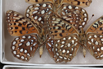 Photo: Speyeria egleis macdunnoughi (Gunder, 1932) - The Egleis or Great Basin Fritillary (underside with more magnification)