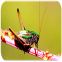 Crickets sounds icon