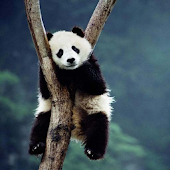 Cute Panda Wallpapers HD