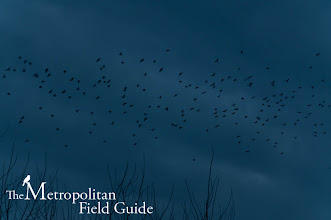 Photo: Read more about the Bothell Crow Roost: http://www.metrofieldguide.com/experience-10000-crows/