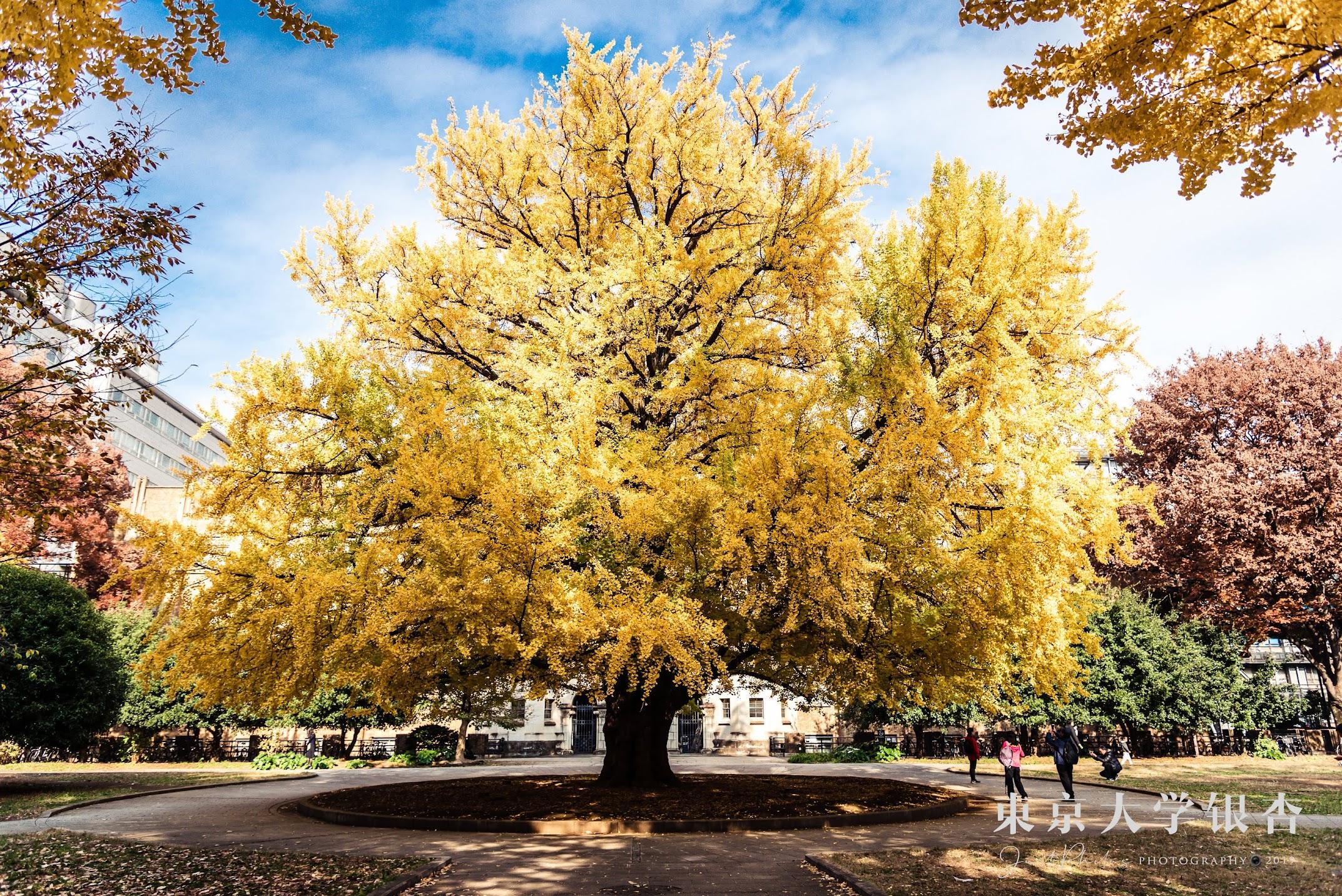 東京大學本鄉校區工學院前的百年大銀杏樹。