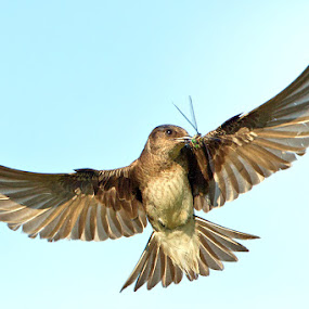 by Herb Houghton - Animals Birds ( martin, herbhoughton.com, swallow, songbird, purple martin )
