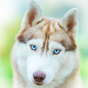 Husky Dog Hd Wallpapers Siberian Husky Wallpaper Android Apps On Google Play