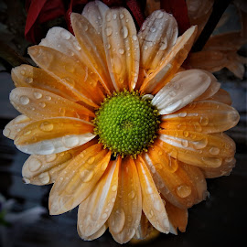Little orange flower in the rain by Mary Gallo - Flowers Single Flower ( orange flower, nature, single flower, orange colored flower, rain drops, flower,  )