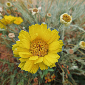 Yellow Flower by Johnny Knight - Novices Only Flowers & Plants ( up close, desert, nature, petals, single flower, flora, texture, wildflower, arizona, yellow )