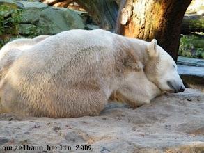 Photo: Soll sie - Knut goennt sich ein Nickerchen ;-)