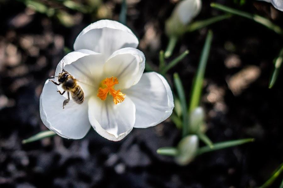 Crocus by Vladimir Vocelka - Flowers Single Flower ( bee, crocus, flowers, spring )