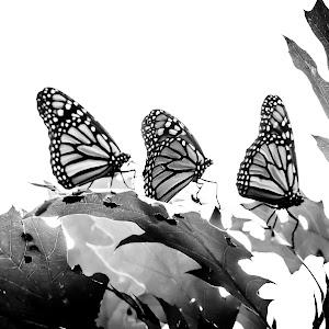 Monarchs B & W_.jpg